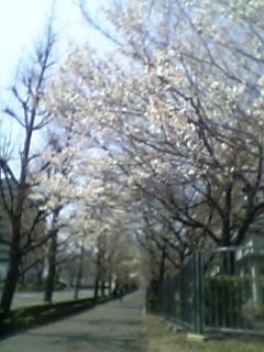 霞ヶ関の桜咲く