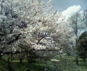 桜はまだ見頃